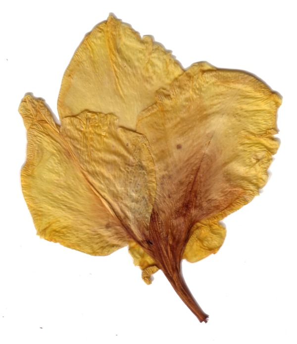 dried flower01